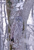 great gray owl blends into background tree