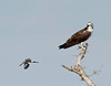 osprey being harassed by a mockingbird