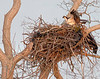 osprey on its nest in large oak tree