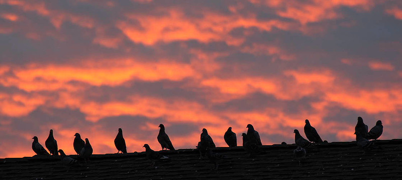 rock doves or pigeons silhouetted in early light
