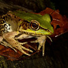 Amazon River frog, <i>Lithobates palmipes</i> (Ranidae). Gareno Amazon, Napo, Ecuador