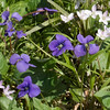 Common Violets and Spring Beauties