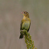 Bobolink, Merkle Wildlife Sanctuary
