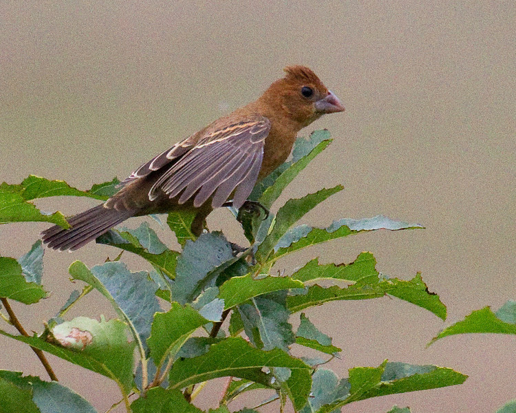 Blue Grosbeak Female, Merkle Wildlife Sanctuary