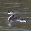Horned Grebe, Seneca Creek, C&O Canal at Riley's Lock