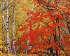 Maple Trees in October Nagano, Japan