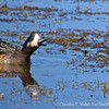 Chiloe Wigeon • Pato Real (Anas sibilatrix), near Punta Arenas, Chile © Claudio F. Vidal, Far South Expeditions