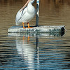 A pelican rest on a platform at Meadowlake Park Monday, Jan. 21, 2013. (Staff Photo by BILLY HEFTON)