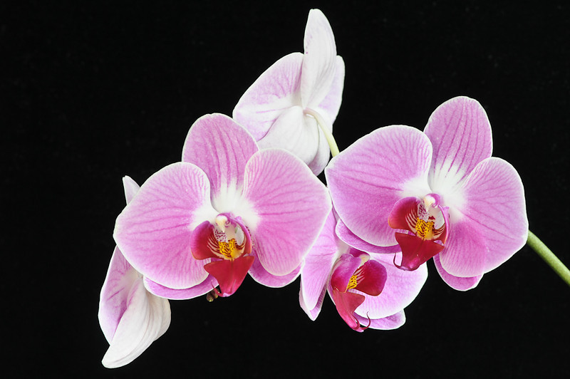 Chris Christiansen   Orchids