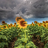 C 50 Sunflowers & Storms
