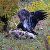 Golden Eagle (11)