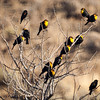 9654 Yellow-headed Blackbird