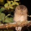 "Juvenile ""Shivering Owl"" with Gray/Brown Morph- Squam Rock Road July 2011."
