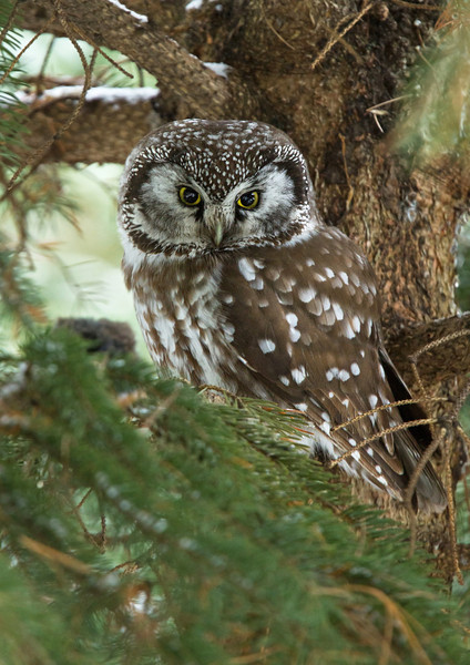 This Boreal Owl had a vole or possibly a deer mouse just in front of it.  Often theses owls will cache food and sit on it later in order to thaw it out.