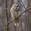 A Barred Owl scans a secluded clearing in search of voles.  Kingston, Ontario.