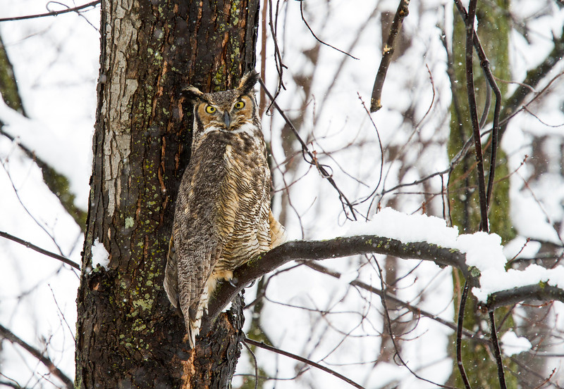 Great Horned Owl Ottawa, Ontario.