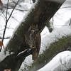 a female Great Horned Owl under cover of a branch in the snow