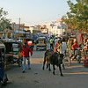 Cow in Downtown Bikaner