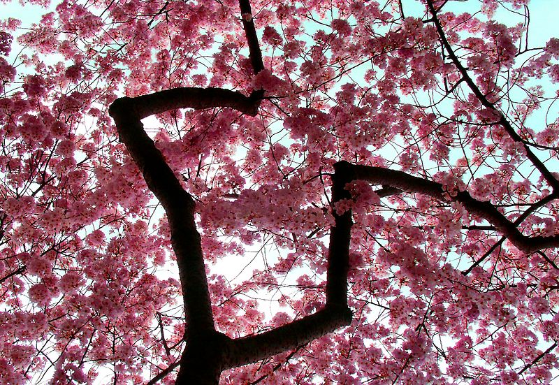 Cherry blossoms, Washington DC, 2004