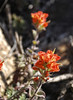 Coast Paintbrush   (Castilleja sp.)