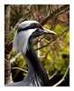 Demoiselle Crane<br /> 4	3	3	-	3	3	3	-	4	3	4	-	30	<br /> accepted	<br /> Judge's comment: Slightly underexposed?	<br /> PK Mattingly