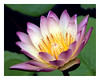 Pink Tipped Water Lily<br /> PK Mattingly<br /> <br /> 3rd Place - Nature