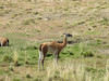 Guanaco - like a llama, in the camel family.  These are everywhere.