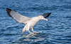 Albatross_Southern Royal TAB125DIII-41322-Edit