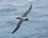 Light-Mantled Sooty Albatross Phoebetria palpebrata