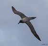 Albatross_Light Mantled Sooty TAB12MK4-49317