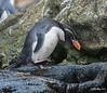 Snares Crested Penguin