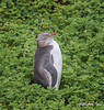 Yellow-eyed Penguin<br /> Megadyptes antipodes