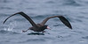Short-tailed Albatross