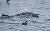 Dolphin and Sooty  Shearwater