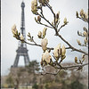 April in Paris - Magnolia buds