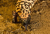 Gila monster at the AHPW