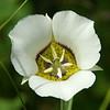 LEAF 2014 Internship Program with The Nature Conservancy in Wyoming - Tensleep Preserve - Sego Lily