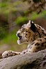 Although a member of the big cat family, they cannot roar. Due to their secretive nature and mountainous habitat, video and photographs of wild snow leopards are rare - the first video being shot around 5 years ago. IUCN: EN.