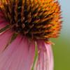Coneflower, Wabaunsee Co., KS