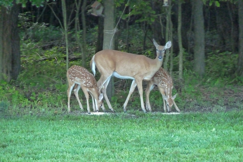 Deer Twins & Mother 072013