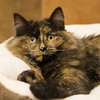 """Madeline is the only kitten at the westminster petsmart. With this face, I""""m sure she won't be there long."""