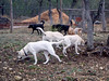 Blanco, Ben, Logan, Lady, Jasper, Champ and Kib_walking the backside