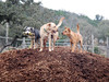 Linus, Jim the Dog and Ginger H  hangin' on the mulch pile