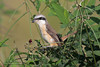 Brown Shrike (Lanius cristatus)