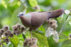 White-eared Brown-dove (Phapitreron leucotis) a Philippine Endemic