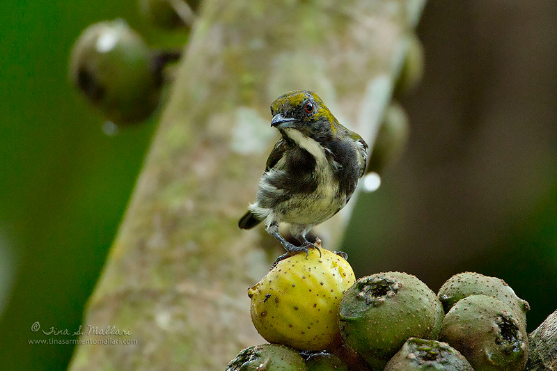 Olive-backed flowerpecker (Prionochilus olivaceus)