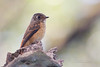 Ferruginous Flycatcher (Muscicapa ferruginea)