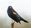 3-16-13 Sign of Spring - red- winged blackbird