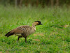 Hawaiian Native Goose the endangered NeNe