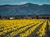 Spring in the Skagit